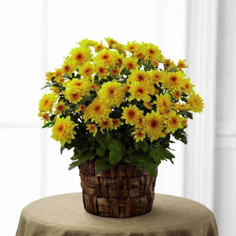 air purifying chrysanthemum plant
