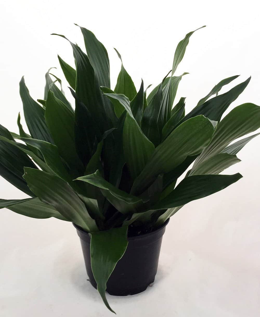 air purifying dracaena janet craig plant