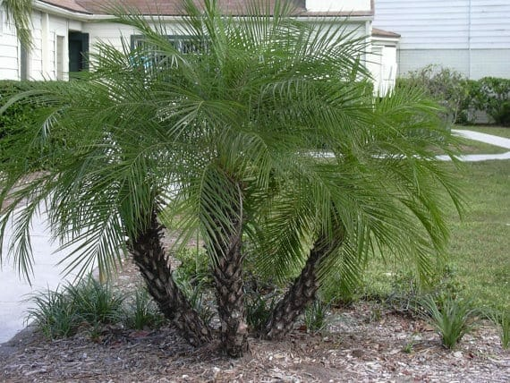 air purifying dwarf date palm plant