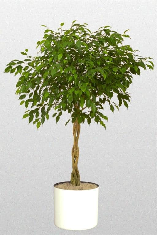 air purifying ficus benjamina plant